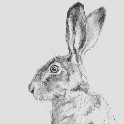 Pencil drawing of a hare